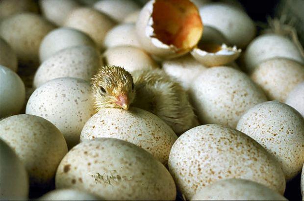 Chicks_hatching (7-18-13)