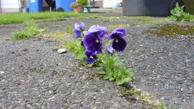 Flower Growing Through Asphalt (7-13-15)