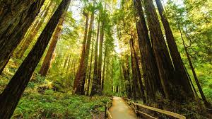 redwoods (9-16-15)