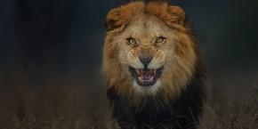 Lion (8-15-16)
