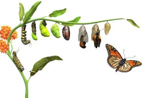 butterfly-life-cycle-1-4-17