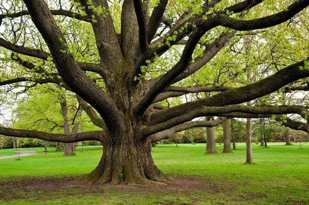 oak tree (6-25-17)