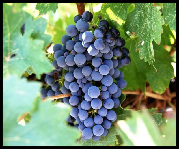 grapes 2 (2-26-18)