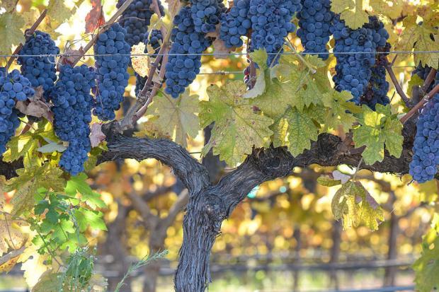 grapes (2-26-18)